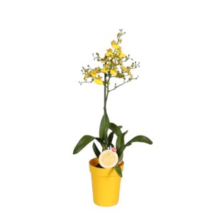 Orchideeën Oncidium Munsterland