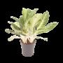 Aglaonema pot  17 - 24 cm