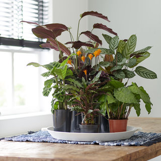 Zimmerpflanze des Monats