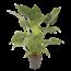 Alocasia Topf 27 cm