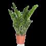 Zamioculcas Smaragdpalme