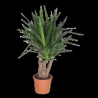 Yucca Verzweigtes XL