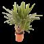 Yucca Vertakt