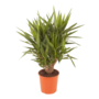 Yucca Verzweigt