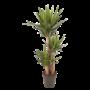 Yucca Elefantipes
