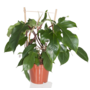 Philodendron Red Wonder