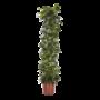 Hoya Australis - fleur de cire