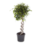 Ficus Exotikaspirale