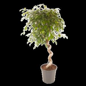Ficus exotica  spiraal