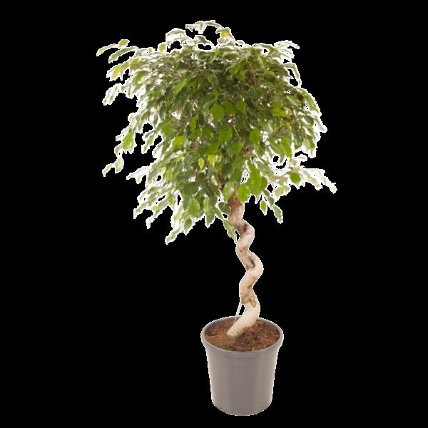 Ficus spirale exotique