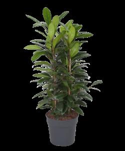 cyathistipula  - pot 34 cm
