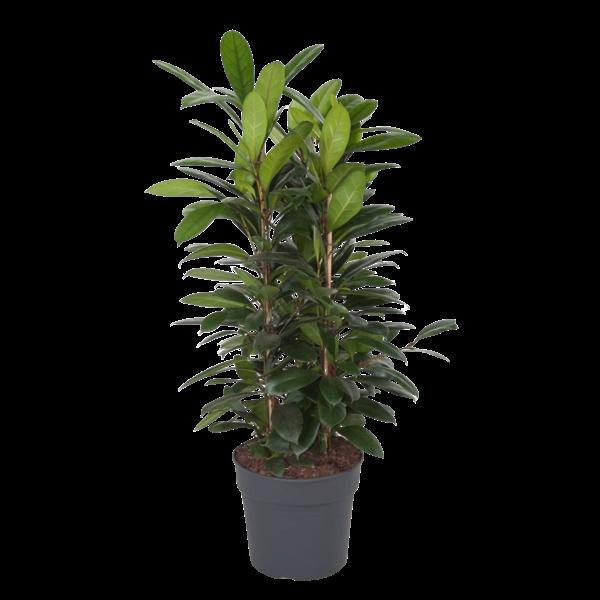 Ficus cyathistipula  - pot 34 cm