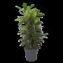 Ficus Cyathistipula - Topf 34 cm
