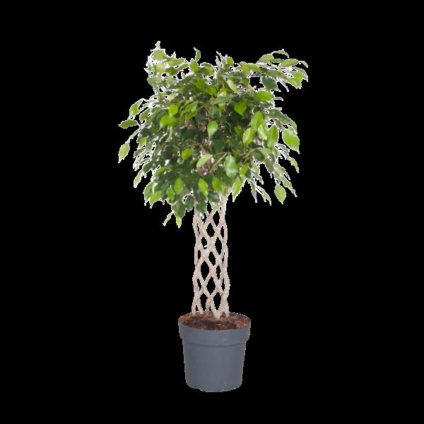Ficus Exotica - geflochtene Matte