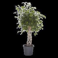Ficus Exotica - gevlochten mat