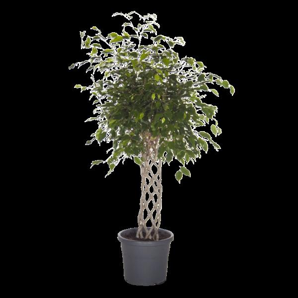 Ficus Exotica - tapis tressé