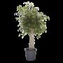 Ficus Exotica - braided mat