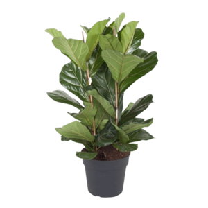 Ficus Lyrata tuft - 3 PP - 120 cm