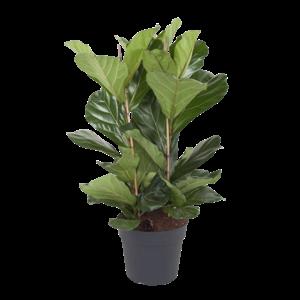 Ficus Touffe de Lyrata - 3 PP - 120 cm