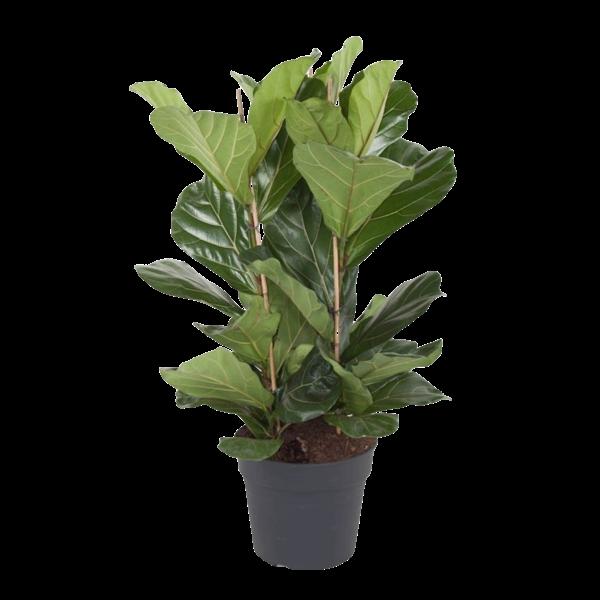 Ficus Lyrata Büschel - 3 PP - 120 cm