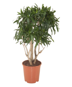 Reflexa - branched - Dragon tree, Century plant