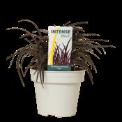 Ophiopogon  planiscapus' niger pot 15 cm