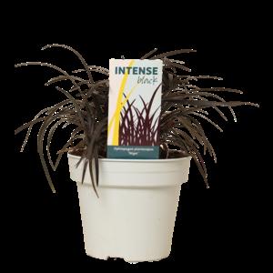 Ophiopogon  pot de nègre de planiscapus 15 cm