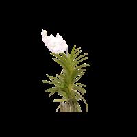 Vanda Diamant blanc