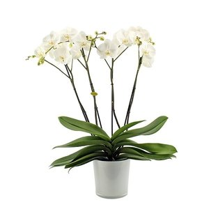 Phalaenopsis 4 branch theatro branched in style glass
