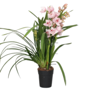 Cymbidium Pink River