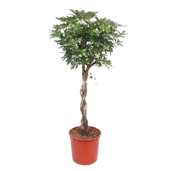Schefflera Coffre tressé Capella XL en or - pot 34 cm