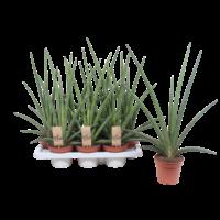 Sansevieria Cylindrica - pot 14 cm