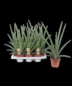 Cylindrica - Snakeplant