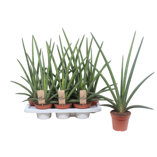 Sansevieria Cylindrica - Topf 14 cm