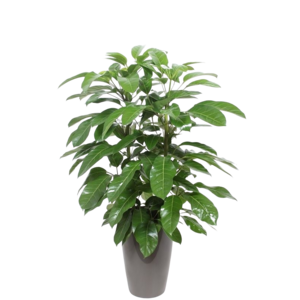 Schefflera Amate, ornamental pot + water meter M