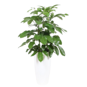 Schefflera Amate, ornamental pot + water meter L