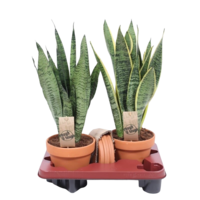 Sansevieria Terracotta + dish mixed