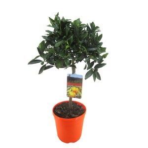 Citrus Kumquat op stam