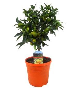 Kumquat sur tribu