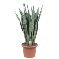 Sansevieria Zeylanica - pot 35 - 110 cm