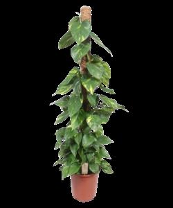 Aureum - bâton de mousse 150 cm