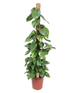 Aureum - moss stick 150 cm