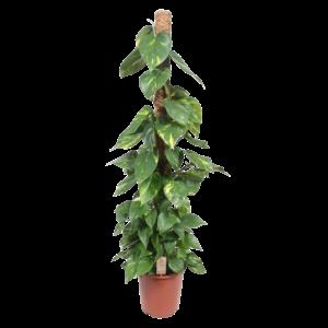 Scindapsus Aureum - bâton de mousse 150 cm