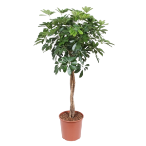 Schefflera Compacta braided trunk