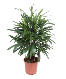 Excelsa - Bamboepalm/stokpalm