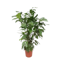 Caryota pot de mitis 24 cm