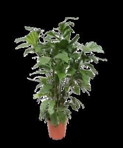 mitis - pot 24 cm - Zachte Vinnetjespalm
