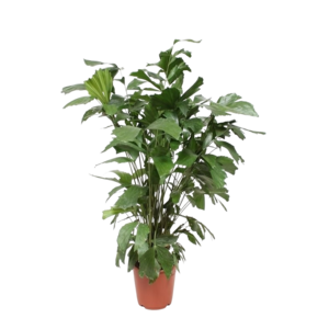 Caryota mitis pot 24 cm