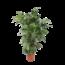 Caryota mitis - pot 24 cm - Zachte Vinnetjespalm