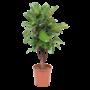 Ficus Verzweigte lyrata
